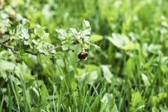 Bumblebee pollinates a gooseberry bush stock image