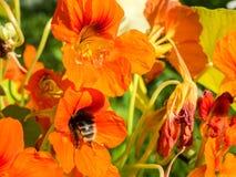 Bumblebee pollinates Nasturtium Stock Image