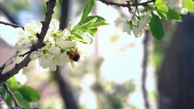 Bumblebee Pollinating Apple Blossom stock footage