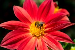 Bumblebee pollinating, collecting honey on a red flower. stock photography
