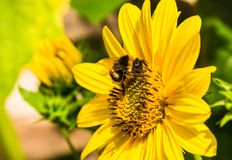 Bumblebee pollinating and collecting pollen on yellow sunflower blossom, close-up Stock Images
