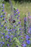 Bumblebee. Pollinating a flower on a blue field Stock Image