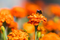 Bumblebee pollinating flower tagetes Close Up. Beautiful Nature. Floral background of Yellow and orange Flowers marigold and bombus with selective focus Stock Photography