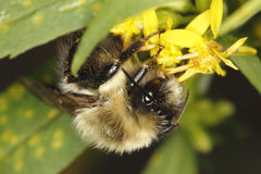 Bumblebee Pollinating Goldenrod Stock Photography