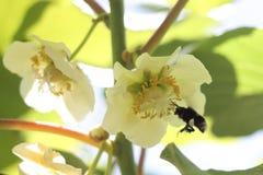Bumblebee pollinating in kiwifruit orchard. Large earth bumblebee Bombus terrestris reaching out to land on female kiwifruit flower Actinidia chinensis Royalty Free Stock Photo