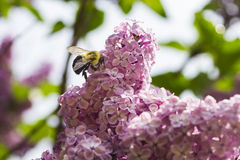 Bumblebee pollinating a lilac Stock Photo