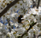 Bumblebee pollinating a mirabelle flower. Close-up of a bumblebee pollinating a white mirabelle plum tree flower Royalty Free Stock Photos
