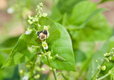 Bumblebee Pollinating Pepper Plant Royalty Free Stock Photography
