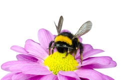 Bumblebee pollinating on Pink Daisy Flower Stock Photos