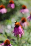 Bumblebee Pollinating Purple Echinacea Coneflower in Garden Stock Photos