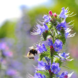 Bumblebee pollinating purple Viper's Bugloss flowers. Medicinal herb. Echium vulgare. Royalty Free Stock Photography