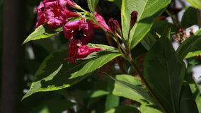 Bumblebee Pollinating Red Weigela Flower stock video