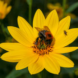 Bumblebee pollinating Rudbeckia bright yellow flower Royalty Free Stock Photo