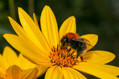 Bumblebee pollinating Rudbeckia bright yellow flower Stock Images