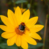 Bumblebee pollinating Rudbeckia bright yellow flower Stock Photo
