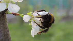 Bumblebee pollinating slowly stock footage