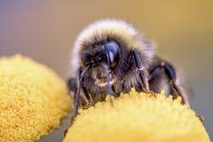 Bumblebee - bumble bee - macro - closeup. Bumblebee pollinating yellow flower - bombus Stock Photo