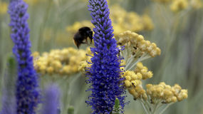 Bumblebee pollination. Lavender flowers with bumblebee feeding on them Royalty Free Stock Photography