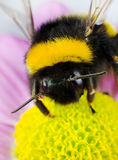 Bumblebee Pollination on Yellow Flower. Vertical Composition Royalty Free Stock Photos