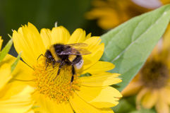 Bumblebee pollination on yellow flower Royalty Free Stock Photo