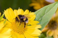 Bumblebee pollination on yellow flower. Macro Royalty Free Stock Photo
