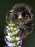 Bumblebee portrait Stock Photos