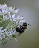 Bumblebee in profile. Hanging off of of a garlic chive plant in a vegetable garden Stock Photos