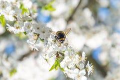 Bumblebee przy okwitnięciem mirabelki śliwka Zdjęcia Stock