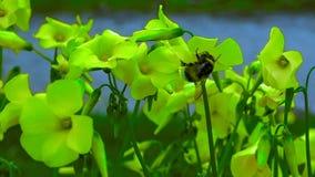 Bumblebee przy pracą zdjęcia royalty free