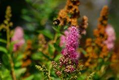 Bumblebee przygotowywa lądować na kwiacie Obrazy Stock