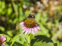 Bumblebee on Purple coneflower, Echinacea purpurea, flower close-up, selective focus, shallow DOF Stock Image