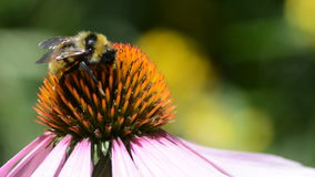 Bumblebee on purple coneflower flower stock video