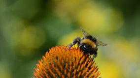 Bumblebee on purple coneflower flower stock video footage
