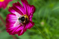Bumblebee On Purple Cosmos Stock Photos