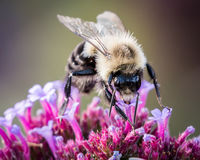 Bumblebee on Purple Flower Stock Image