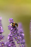 Bumblebee on purple flower. Closeup Stock Images