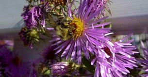Yellow Bumblebee on Purple New England Aster flower Stock Photography