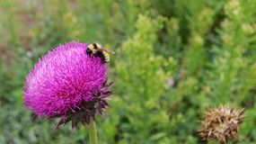 Bumblebee on a purple flower. A black and yellow bumblebee on a purple flower in the summer Stock Images