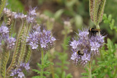 Bumblebee on purple flower. Gathering nectar and pollen Royalty Free Stock Images