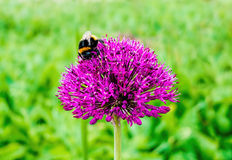 Bumblebee on Purple Flower Royalty Free Stock Photos