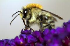 Bumblebee on purple flower Stock Image