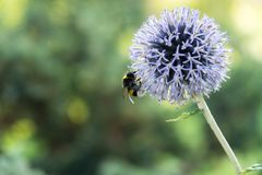 Bumblebee on purple flower. Slovakia stock image