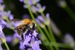 Bumblebee on purple flower Stock Photo