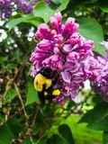 Bumblebee on Purple Lilac Royalty Free Stock Images