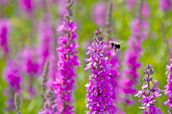 Bumblebee with purple loosestrife Stock Photos