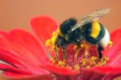 bumblebee pyłek zbierania obrazy royalty free