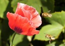 bumblebee pyłek zbierania fotografia stock