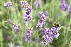 bumblebee pyłek zbierania Zdjęcie Royalty Free