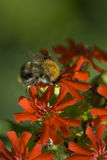Bumblebee on a red flower. Big bumblebee on a red flower on soft green background Royalty Free Stock Photos