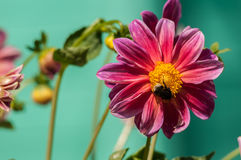 Bumblebee on a red flower. Bumblebee collects honey from flowers Royalty Free Stock Photos